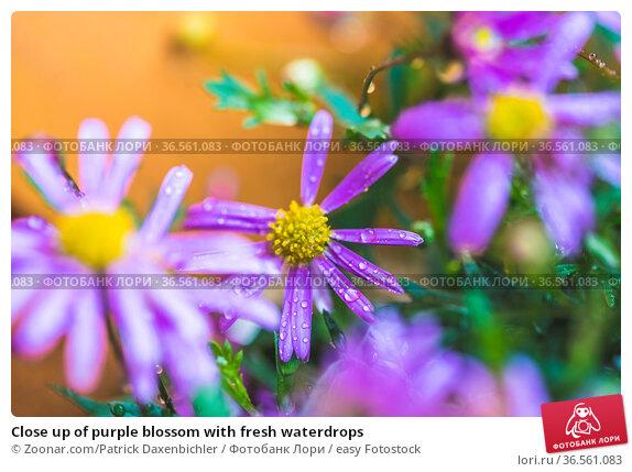 Close up of purple blossom with fresh waterdrops. Стоковое фото, фотограф Zoonar.com/Patrick Daxenbichler / easy Fotostock / Фотобанк Лори