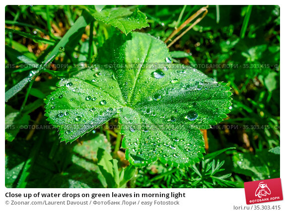 Close up of water drops on green leaves in morning light. Стоковое фото, фотограф Zoonar.com/Laurent Davoust / easy Fotostock / Фотобанк Лори