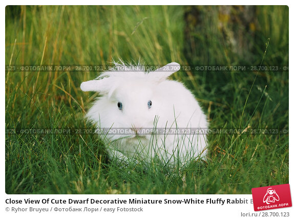 Купить «Close View Of Cute Dwarf Decorative Miniature Snow-White Fluffy Rabbit Bunny Mixed Breeds With Blue Eye Sitting In Bright Green Grass In Garden.», фото № 28700123, снято 4 июня 2016 г. (c) easy Fotostock / Фотобанк Лори