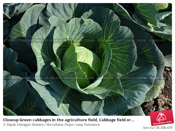 Closeup Green cabbages in the agriculture field, Cabbage field or... Стоковое фото, фотограф Dipak Chhagan Shelare / easy Fotostock / Фотобанк Лори
