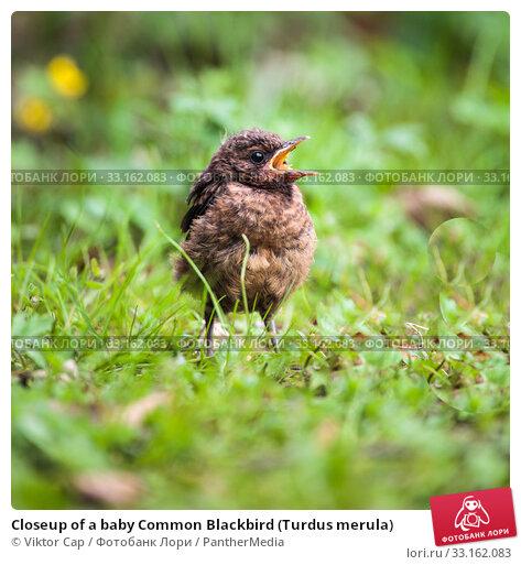 Купить «Closeup of a baby Common Blackbird (Turdus merula)», фото № 33162083, снято 8 апреля 2020 г. (c) PantherMedia / Фотобанк Лори