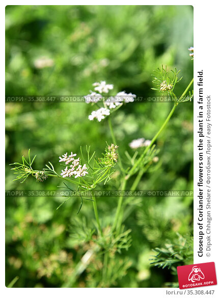 Closeup of Coriander flowers on the plant in a farm field. Стоковое фото, фотограф Dipak Chhagan Shelare / easy Fotostock / Фотобанк Лори