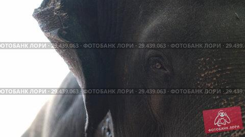 Купить «Closeup video recording of asian elephant in Yala National Park», видеоролик № 29439063, снято 9 ноября 2018 г. (c) Andriy Bezuglov / Фотобанк Лори