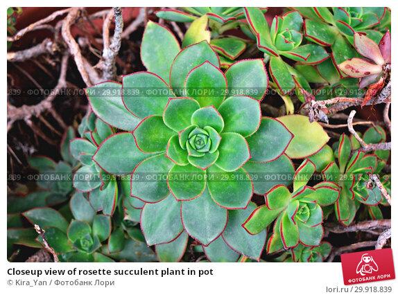 Купить «Closeup view of rosette succulent plant in pot», фото № 29918839, снято 23 марта 2018 г. (c) Kira_Yan / Фотобанк Лори
