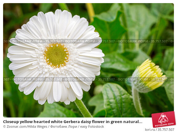 Closeup yellow hearted white Gerbera daisy flower in green natural... Стоковое фото, фотограф Zoonar.com/Hilda Weges / easy Fotostock / Фотобанк Лори