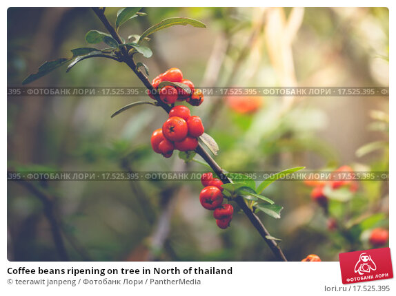 Купить «Coffee beans ripening on tree in North of thailand», фото № 17525395, снято 27 мая 2019 г. (c) PantherMedia / Фотобанк Лори