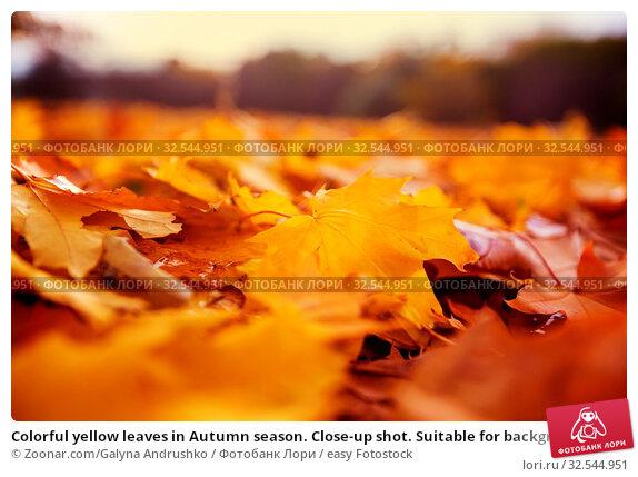 Купить «Colorful yellow leaves in Autumn season. Close-up shot. Suitable for background image.», фото № 32544951, снято 7 декабря 2019 г. (c) easy Fotostock / Фотобанк Лори