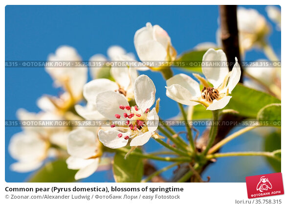 Common pear (Pyrus domestica), blossoms of springtime. Стоковое фото, фотограф Zoonar.com/Alexander Ludwig / easy Fotostock / Фотобанк Лори
