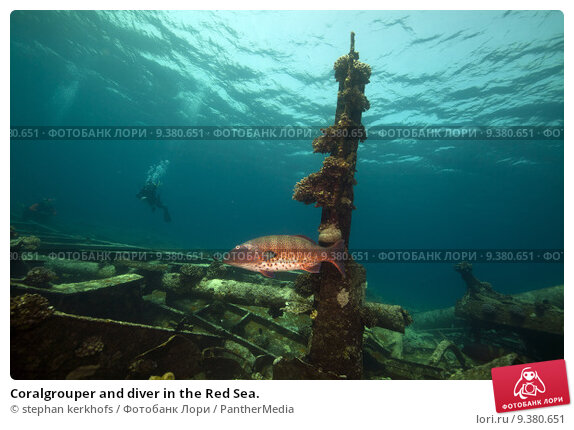 Купить «Coralgrouper and diver in the Red Sea.», фото № 9380651, снято 19 апреля 2019 г. (c) PantherMedia / Фотобанк Лори