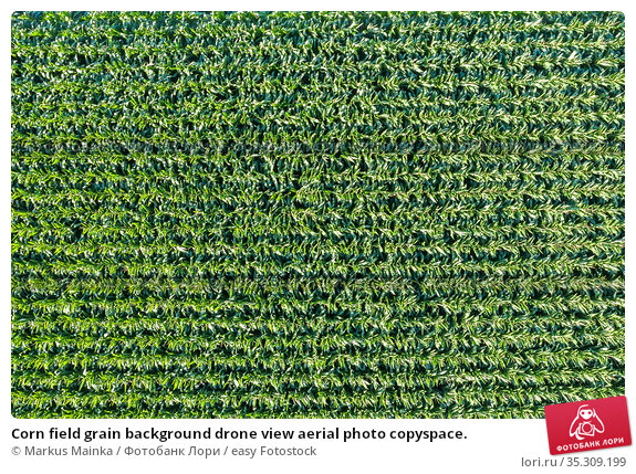 Corn field grain background drone view aerial photo copyspace. Стоковое фото, фотограф Markus Mainka / easy Fotostock / Фотобанк Лори