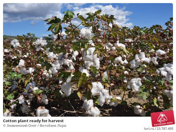 Купить «Cotton plant ready for harvest», фото № 23787495, снято 20 сентября 2016 г. (c) Знаменский Олег / Фотобанк Лори