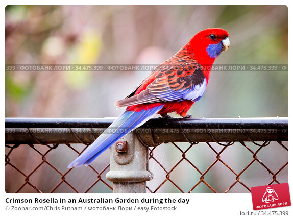Crimson Rosella in an Australian Garden during the day. Стоковое фото, фотограф Zoonar.com/Chris Putnam / easy Fotostock / Фотобанк Лори