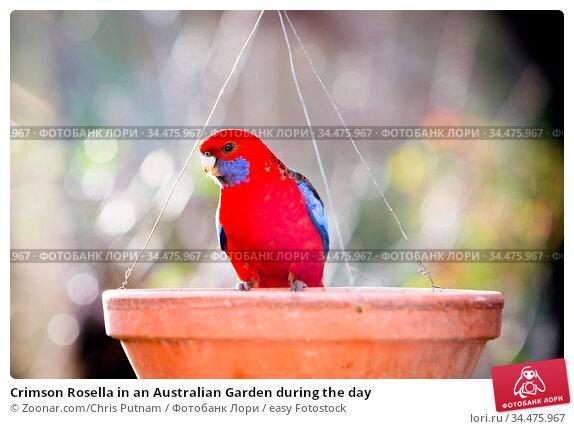 Crimson Rosella in an Australian Garden during the day. Стоковое фото, фотограф Zoonar.com/Chris Putnam / easy Fotostock / Фотобанк Лори
