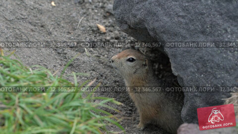 Купить «Curious but cautious wild animal Arctic ground squirrel peeps out of hole under stone and looking around», видеоролик № 32346567, снято 26 октября 2019 г. (c) А. А. Пирагис / Фотобанк Лори