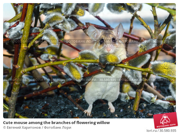 Купить «Cute mouse among the branches of flowering willow», фото № 30580935, снято 14 апреля 2019 г. (c) Евгений Харитонов / Фотобанк Лори