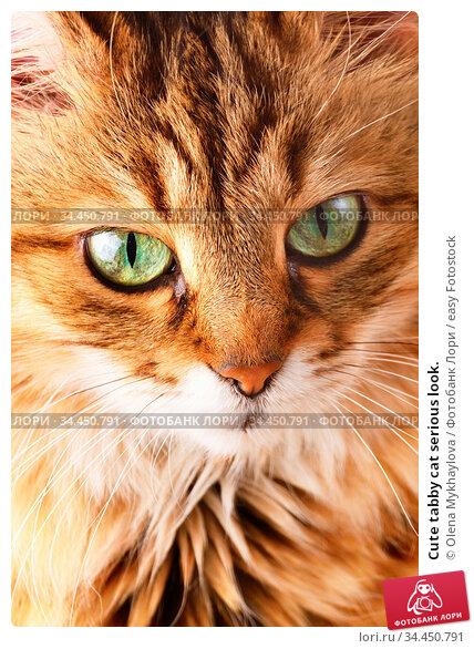Cute tabby cat serious look. Стоковое фото, фотограф Olena Mykhaylova / easy Fotostock / Фотобанк Лори