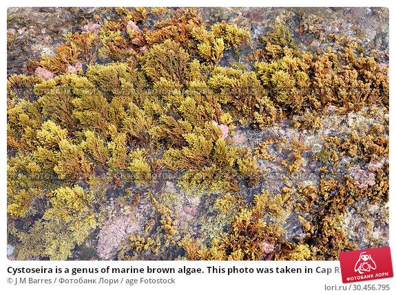 Cystoseira is a genus of marine brown algae. This photo was taken in Cap Ras coasts, Girona province, Catalonia, Spain. Стоковое фото, фотограф J M Barres / age Fotostock / Фотобанк Лори