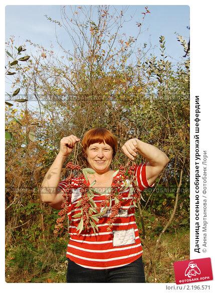 Купить «Дачница осенью собирает урожай шефердии», эксклюзивное фото № 2196571, снято 4 декабря 2010 г. (c) Анна Мартынова / Фотобанк Лори