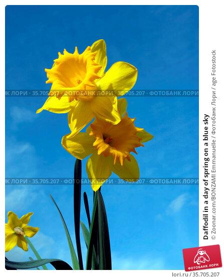 Daffodil in a day of spring on a blue sky. Стоковое фото, фотограф Zoonar.com/BONZAMI Emmanuelle / age Fotostock / Фотобанк Лори