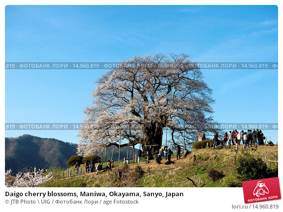 Купить «Daigo cherry blossoms, Maniwa, Okayama, Sanyo, Japan», фото № 14960819, снято 20 февраля 2019 г. (c) age Fotostock / Фотобанк Лори