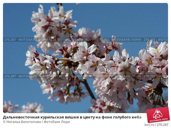 Дальневосточная курильская вишня в цвету на фоне голубого неба, фото № 270287, снято 2 мая 2008 г. (c) Наталья Белотелова / Фотобанк Лори