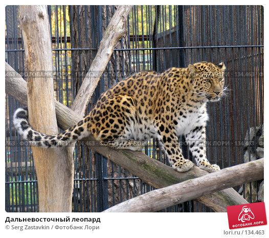 Купить «Дальневосточный леопард», фото № 134463, снято 10 октября 2004 г. (c) Serg Zastavkin / Фотобанк Лори