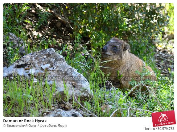Купить «Daman or Rock Hyrax», фото № 30579783, снято 3 апреля 2019 г. (c) Знаменский Олег / Фотобанк Лори