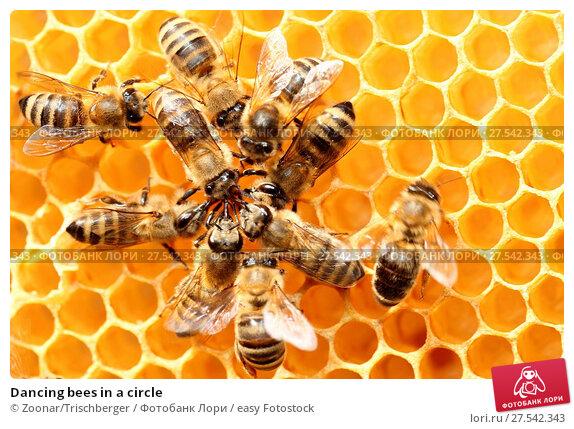 Купить «Dancing bees in a circle», фото № 27542343, снято 6 июля 2020 г. (c) easy Fotostock / Фотобанк Лори
