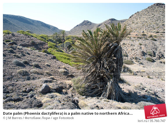 Date palm (Phoenix dactylifera) is a palm native to northern Africa... Стоковое фото, фотограф J M Barres / age Fotostock / Фотобанк Лори