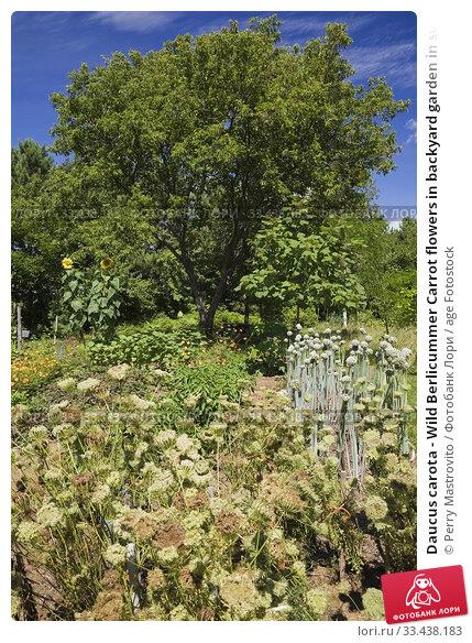 Купить «Daucus carota - Wild Berlicummer Carrot flowers in backyard garden in summer, Jardin du Grand Portage garden, Saint-Didace, Lanaudiere, Quebec, Canada...», фото № 33438183, снято 19 августа 2012 г. (c) age Fotostock / Фотобанк Лори