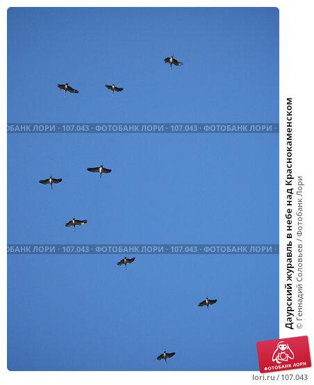 Даурский журавль в небе над Краснокаменском, фото № 107043, снято 18 сентября 2007 г. (c) Геннадий Соловьев / Фотобанк Лори