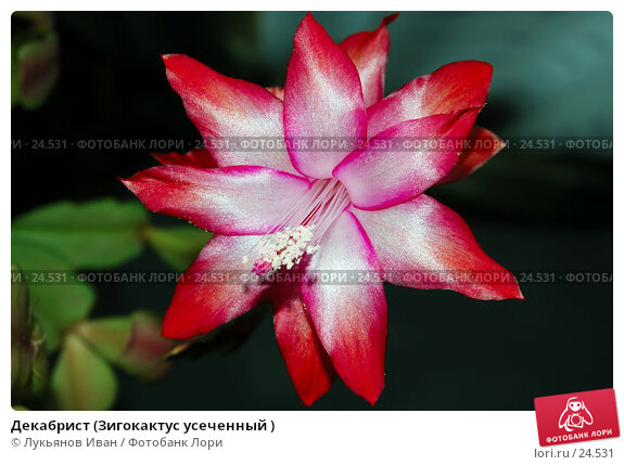 Декабрист (Зигокактус усеченный ), фото № 24531, снято 22 февраля 2007 г. (c) Лукьянов Иван / Фотобанк Лори