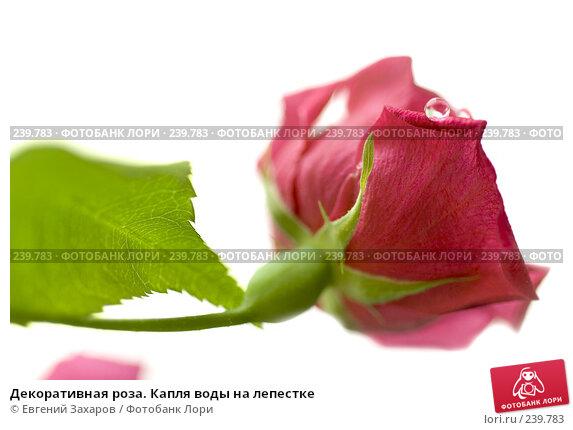 Купить «Декоративная роза. Капля воды на лепестке», фото № 239783, снято 12 марта 2008 г. (c) Евгений Захаров / Фотобанк Лори