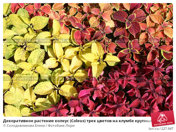 Декоративное растение колеус (Coleus) трех цветов на клумбе крупным планом, фото № 227947, снято 13 июня 2006 г. (c) Солодовникова Елена / Фотобанк Лори