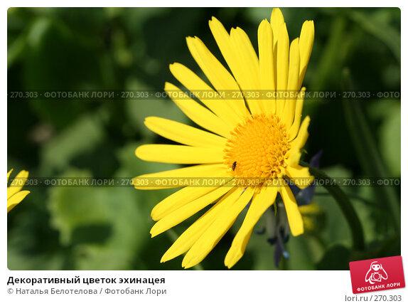 Декоративный цветок эхинацея, фото № 270303, снято 2 мая 2008 г. (c) Наталья Белотелова / Фотобанк Лори