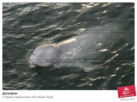 Дельфин, эксклюзивное фото № 911, снято 19 сентября 2005 г. (c) Ирина Терентьева / Фотобанк Лори