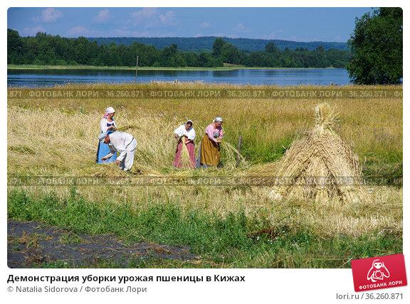 Демонстрация уборки урожая пшеницы в Кижах. Редакционное фото, фотограф Natalya Sidorova / Фотобанк Лори