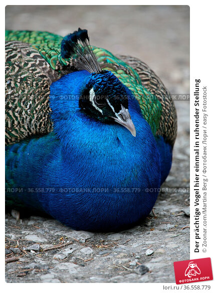 Der prächtige Vogel hier einmal in ruhender Stellung. Стоковое фото, фотограф Zoonar.com/Martina Berg / easy Fotostock / Фотобанк Лори