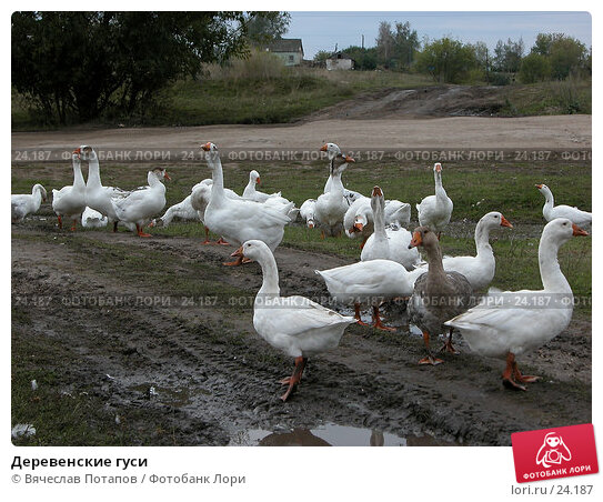 Деревенские гуси, фото № 24187, снято 21 сентября 2002 г. (c) Вячеслав Потапов / Фотобанк Лори