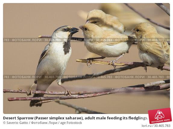 Desert Sparrow (Passer simplex saharae), adult male feeding its fledglings. Стоковое фото, фотограф Saverio Gatto / age Fotostock / Фотобанк Лори