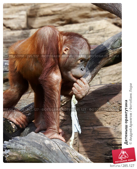 Детеныш орангутана, фото № 285127, снято 1 июня 2006 г. (c) Андрей Армягов / Фотобанк Лори