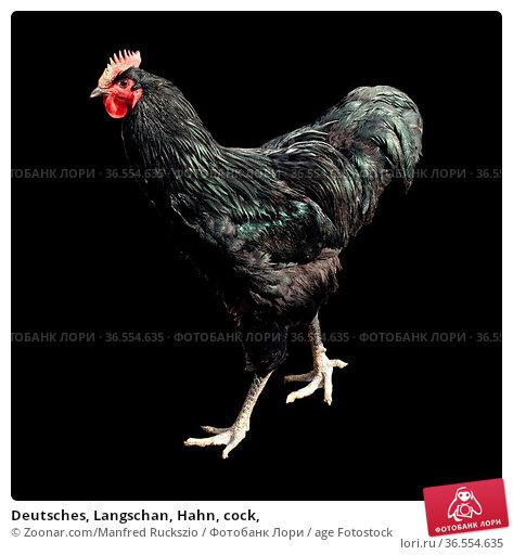 Deutsches, Langschan, Hahn, cock, Стоковое фото, фотограф Zoonar.com/Manfred Ruckszio / age Fotostock / Фотобанк Лори