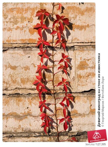 Купить «Девичий виноград на стене из известняка», фото № 127395, снято 12 октября 2005 г. (c) Георгий Марков / Фотобанк Лори