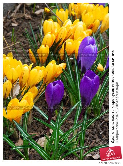 Диагональ желтых крокусов и несколько синих, фото № 242035, снято 17 марта 2008 г. (c) Мирослава Безман / Фотобанк Лори