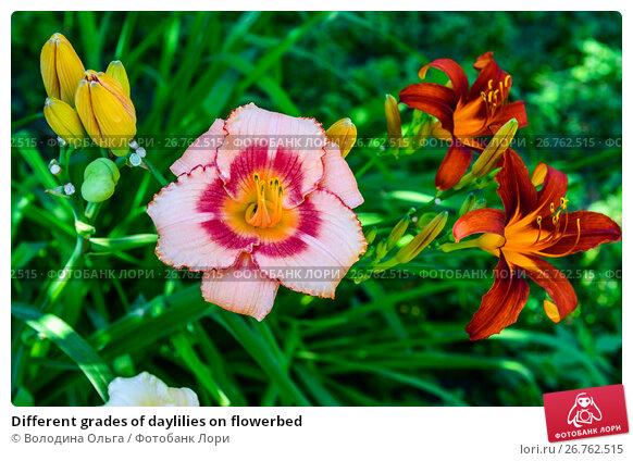 Different grades of daylilies on flowerbed, фото № 26762515, снято 6 августа 2017 г. (c) Володина Ольга / Фотобанк Лори