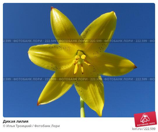 Купить «Дикая лилия», фото № 222599, снято 18 июня 2005 г. (c) Илья Троицкий / Фотобанк Лори