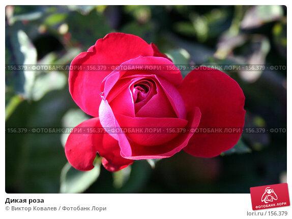 Купить «Дикая роза», фото № 156379, снято 29 сентября 2007 г. (c) Виктор Ковалев / Фотобанк Лори