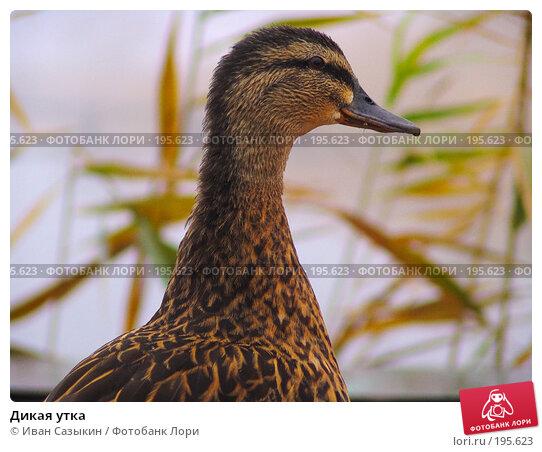 Дикая утка, фото № 195623, снято 13 ноября 2004 г. (c) Иван Сазыкин / Фотобанк Лори