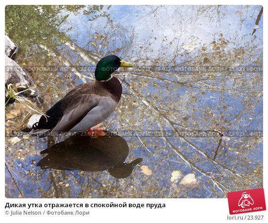 Купить «Дикая утка отражается в спокойной воде пруда», фото № 23927, снято 15 февраля 2007 г. (c) Julia Nelson / Фотобанк Лори