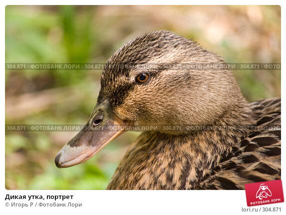Дикая утка, портрет, фото № 304871, снято 31 мая 2008 г. (c) Игорь Р / Фотобанк Лори